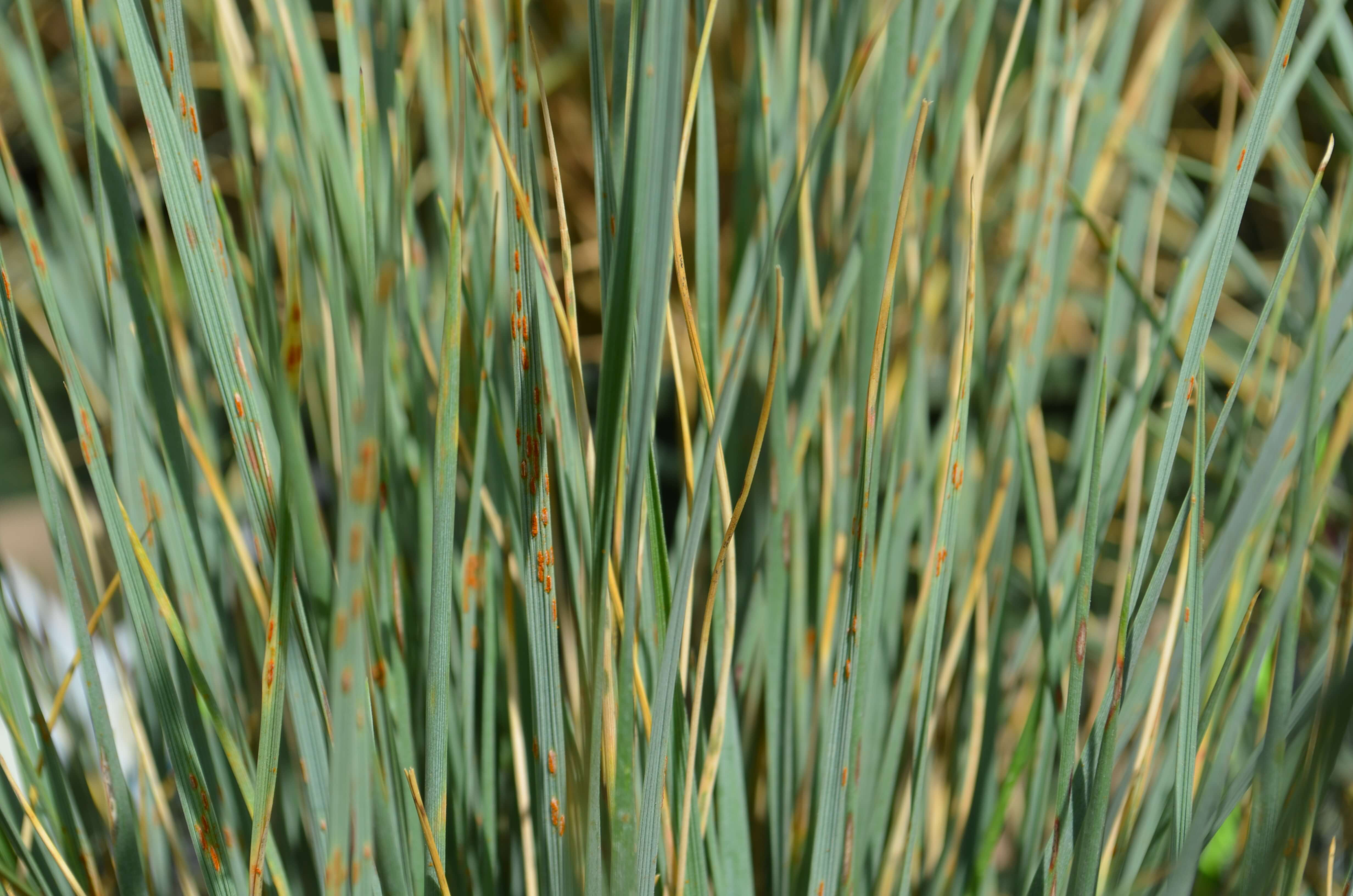 Add ornamental grass to your landscape for Blue fountain grass